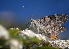 бабочка beautifull Стоковая Фотография RF
