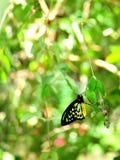 Бабочка Birdwing пирамид из камней в aviary Стоковая Фотография