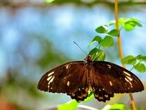 Бабочка Birdwing пирамид из камней (женская) Стоковая Фотография RF
