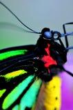 Бабочка Birdwing пирамид из камней (euphorion Ornithoptera) Стоковое Изображение