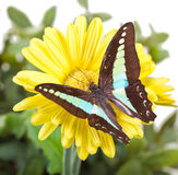 Бабочка Bluebottle Стоковое Изображение