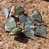 Бабочка Boyaryshnitsa (crataegi Aporia) Стоковая Фотография RF