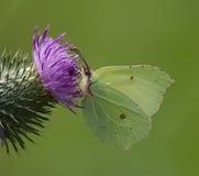 Бабочка Brimstone Стоковые Изображения RF