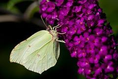 бабочка brimstone Стоковые Изображения