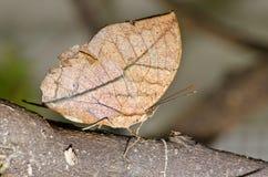Бабочка Brown на коричневой ветви Стоковое фото RF