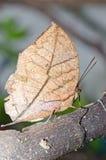 Бабочка Brown на коричневой ветви Стоковые Изображения