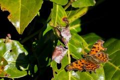 Бабочка c-альбома Polygonia Стоковая Фотография