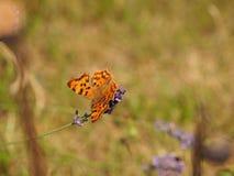 Бабочка c-альбома Polygonia Стоковые Фотографии RF