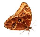 Бабочка Caligo сыча Стоковое Изображение