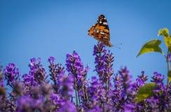 Бабочка (cardui Ванессы) на цветке лаванды Стоковое Изображение RF