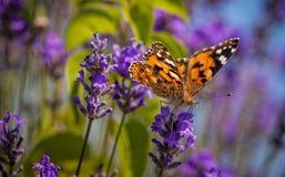 Бабочка (cardui Ванессы) на цветке лаванды Стоковые Фотографии RF