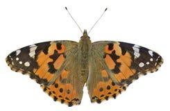 Бабочка (cardui Ванессы) 14 Стоковые Изображения RF