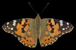 Бабочка (cardui Ванессы) 13 Стоковая Фотография RF