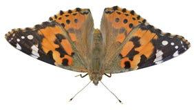 Бабочка (cardui Ванессы) 13 Стоковое фото RF