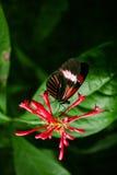 Бабочка Cattleheart Стоковое Фото