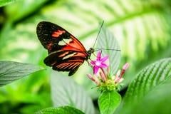 Бабочка Cattleheart Стоковое Изображение RF