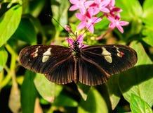 Бабочка Cattleheart Стоковые Изображения RF