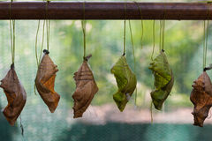 Бабочка Chrysalis Стоковая Фотография RF