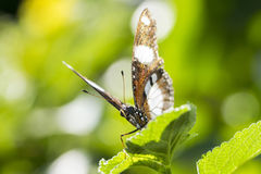 Бабочка Danaid Eggfly Стоковое Фото