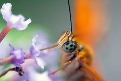 Бабочка (Dryas Джулия) стоковое фото