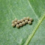 Бабочка eggs макрос стоковое фото rf
