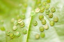 бабочка eggs morpho Стоковые Изображения