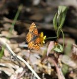 Бабочка Fritillary Стоковое Фото