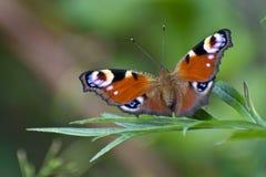 Бабочка Glasswing сидя на зеленых лист Стоковое Фото