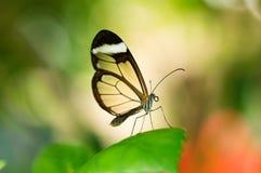Бабочка Glasswing Стоковые Фото