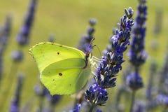 Бабочка, Gonepteryx, отдыхая на цветке Стоковые Фотографии RF