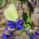 Бабочка Gonepteryx, dacica Simonk Pulmonaria завода Стоковые Фото
