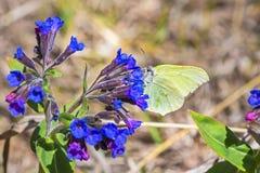 Бабочка Gonepteryx, dacica Simonk Pulmonaria завода Стоковое фото RF