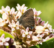 Бабочка Hairstreak Эдварда Стоковые Фото