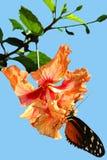 Бабочка hecate Heliconius на senensis Hibiscusrosa Стоковое Изображение RF