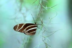Бабочка Heliconian зебры на запачканной предпосылке Стоковые Изображения RF