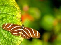 Бабочка Heliconian зебры на зеленых лист (верхняя сторона) Стоковая Фотография