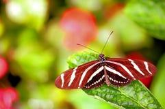 Бабочка Heliconian зебры на лист (верхняя сторона) Стоковое Изображение RF