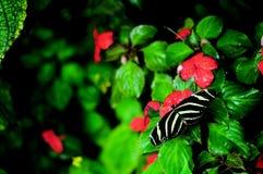 Бабочка Heliconian зебры на красном цветке (верхняя сторона) Стоковые Фотографии RF