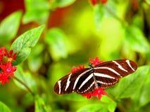 Бабочка Heliconian зебры на красном integerrima Jatrophe Стоковое Изображение RF
