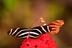 Бабочка Heliconian зебры на цветках lanceolata Pentas Стоковая Фотография RF