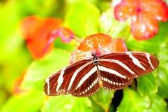 Бабочка Heliconian зебры на цветке (верхняя сторона) Стоковая Фотография RF