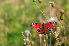 Бабочка io Inachis глаза павлина на крупном плане стержня завода против зеленой травы стоковое изображение