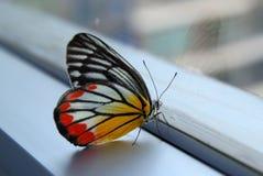 бабочка Jezebel Бело-желт-апельсина Стоковое Фото