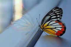 бабочка Jezebel Бело-желт-апельсина Стоковое Изображение RF