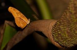 бабочка julia longwing Стоковые Фотографии RF