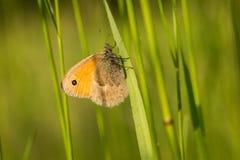 Бабочка jurtina Maniola коричневого цвета луга Стоковые Фото