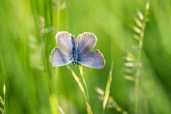 Бабочка jurtina Maniola коричневого цвета луга Стоковая Фотография RF
