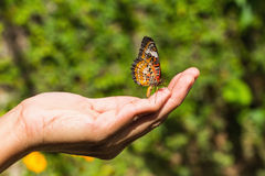Бабочка lacewing леопарда Стоковое Изображение RF