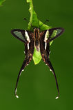 Бабочка Lamproptera curius/на листьях Стоковая Фотография