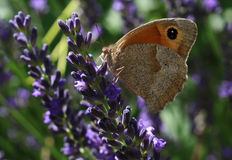 Бабочка lavanda Стоковое фото RF